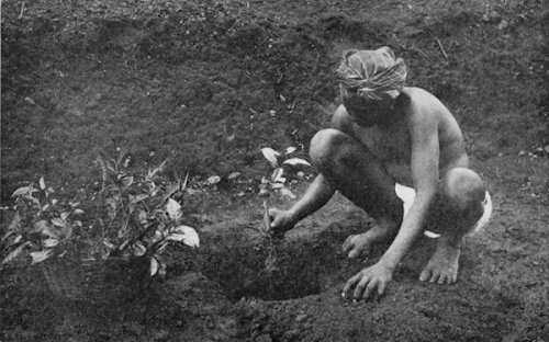 A Tamil coolie setting out tea plants in a plantation in Ceylon, present day Sri Lanka, in 1907