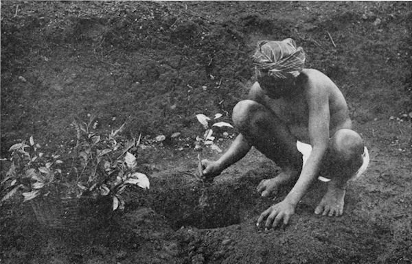 A Tamil coolie setting out tea plants in a plantation in Ceylon, present day Sri Lanka in 1907